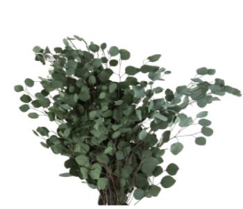 Trockenblumen Eucalyptus Populus, präpariert