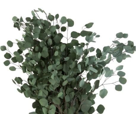 Trockenblumen Eukalyptus Populus, präpariert (grün)