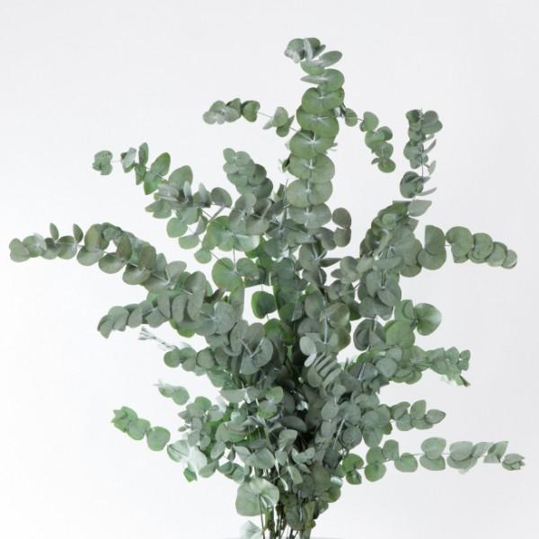 Trockenblumen Eukalyptus Cinerea, präpariert