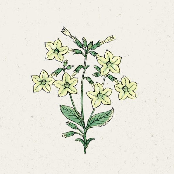 "Jora Dahl Samentütchen Nicotiana alata ""Lime Green"" (Ziertabak)"