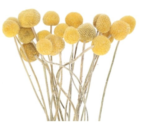 Trockenblumen Craspedia Bund, präpariert